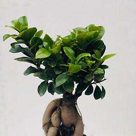 Cây bonsai si nhật