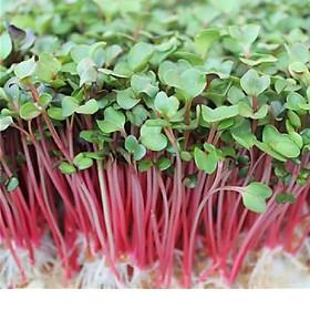 Hạt giống rau mầm củ cải 50gr - Trắng /đỏ