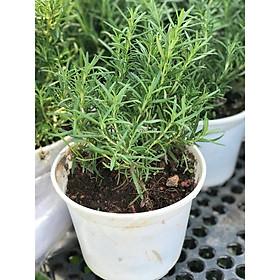 Cây hương thảo để bàn vườn xanh 24h