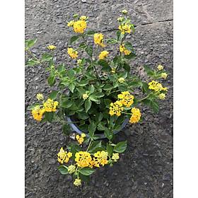 Cây Ngũ Sắc hoa màu vàng