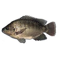 [ Chỉ giao HN]-Cá rô Phi sông Đà làm sạch size 0.7-1.5kg/con