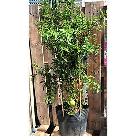 Cây lựu Thái ăn trái trồng nơi có nhiều nắng