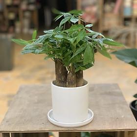 Cây Kim Ngân 3 thân để bàn (cây & chậu nhựa)