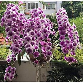 Cây Lan Dendro YaYa Mini Siêu Siêng Hoa, Cực dễ chăm - Cây to sắp hoa - giao cây to như hình