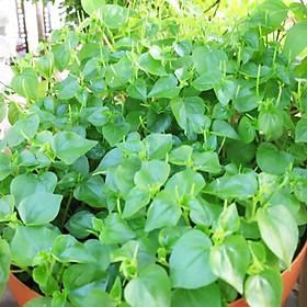 Hạt giống rau càng cua RADO 666 (0,5g/gói) | Vị chua, giòn ngon, trồng quanh năm