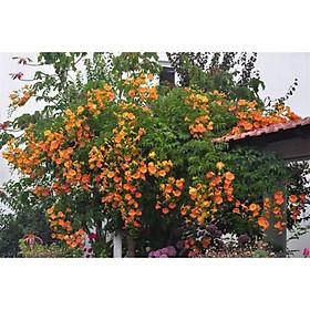 Cây đăng tiêu leo giàn chống nắng - Cây leo có hoa chùm - Campsis grandiflora