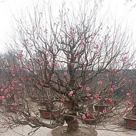 Cây hoa Đào Tết mẫu số 013