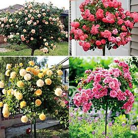 Bộ 1 gói Hạt giống hoa hồng thân gỗ mix -nảy mầm chuẩn-10 hạt