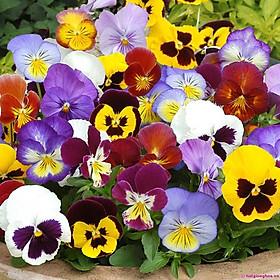 02 gói Hạt giống Hoa Bướm đa sắc - hoa Păng xê Mix - hoa Pansy Italy VTP92