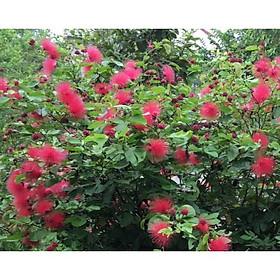 Cây điệp lào, cây cho hoa quanh năm, thân dẻo dễ tạo dáng bonsai - Calliandra emarginata