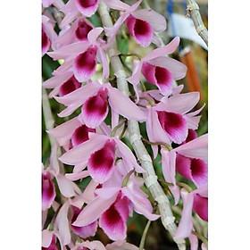 Cây giống lan Giả Hạc Di Linh Xuân - Cây giống gieo hạt năm 1 khoẻ mạnh, thường cho hoa vào mùa xuân, Thân to, hoa đẹp