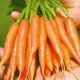 Bộ 1 gói Hạt giống cà rốt mini