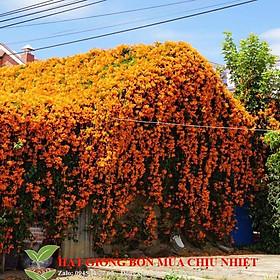 Hạt giống Cây dây leo - hoa leo Chùm ớt, Dây Rạng đông chống nóng hè 10 hạt tuyệt đẹp