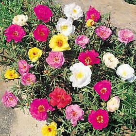 Gói 500 hạt giống hoa mười giờ kép nhiều màu