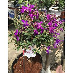 Cây hoa sim Thái  gốc to tán rộng cao 50 - 70 cm