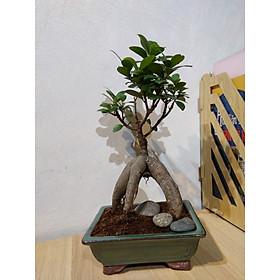 Cây si mini - bonsai nghệ thuật (bao gồm chậu sứ rêu giả cổ 4 chân đẹp)