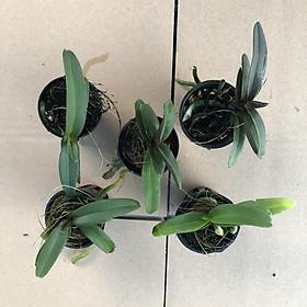 hoa lan Đai Châu - Ngọc Điểm Thái đủ màu, giao màu ngẫu nhiên, không lựa màu