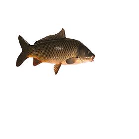 [ Chỉ giao HN]-Cá chép sông Đà làm sạch con 0.8 - 1kg