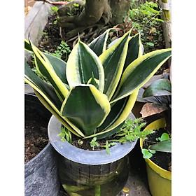 Cây lưỡi hổ thái mini để bàn dễ trồng và chăm sóc