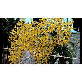 Cây lan Dendro nắng thơm Pensoda - Hàng cây tơ sắp hoa