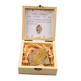 Trilobite Fossil Collection Set in Box Education Specimen for Education Purposes