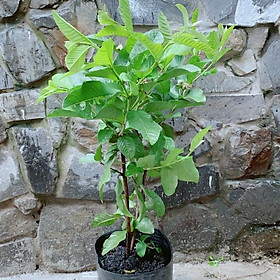 Cây Ổi Trái To Ngọt