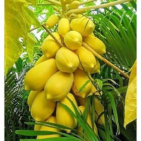 5 hạt giống cây Đu Đủ trái vàng