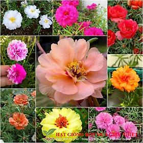GÓI 50 Hạt giống hoa mười giờ kép nhiều màu