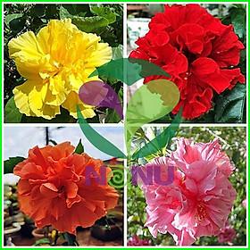 Chậu cây giống hoa dâm bụt Thái lùn cánh Kép có chọn được màu - có 4 màu: Đỏ, Cam, Vàng, Hồng