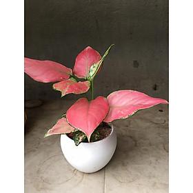 Cây phú quý lá đỏ mẫu mới