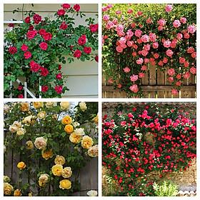 Bộ 3 gói Hạt giống hoa hồng leo