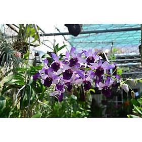 Chậu cây lan dendro lưỡi bò xanh Blue Cold hàng cây tơ thân lá sắp hoa (Dendro. Serene Chang. Purple)