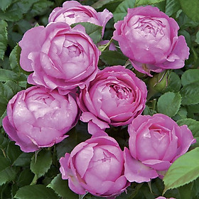 Hình ảnh Bộ 1 gói Hạt giống hoa hồng thơm