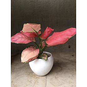 Cây phú quý lá đỏ để bàn