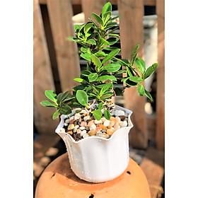 Cây si Nhật dáng bonsai