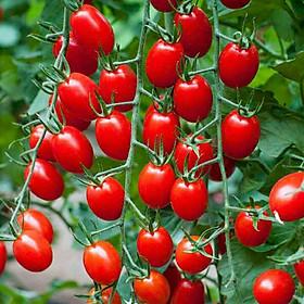 Hạt giống Cà chua bi Cherry F1 nảy mầm cao Titapha