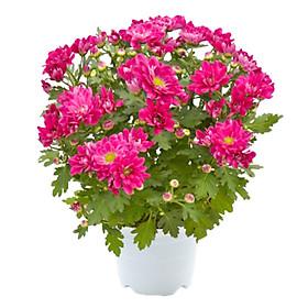 Hoa Cúc Hồng Mẫu 2