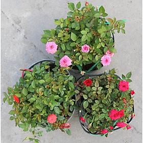 Bộ 3 chậu hoa hồng tỷ muội 3 màu