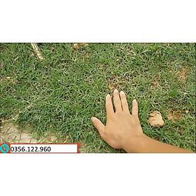1kg Hạt giống cỏ Barmuda (cỏ chỉ, cỏ gà) - cỏ sân vườn, công trình, chăn nuôi