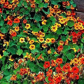 Gói 1GR hạt giống hoa Sen Cạn Nhiều Màu (Dây leo)