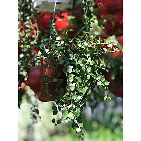 Cây lan tim chậu treo vườn xanh 24h