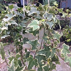 Chậu Dây Thường Xuân - Jacaranda mimosifolia - Cây cảnh đẹp, dễ chơi, dễ chăm - Giao kèm chậu treo như hình