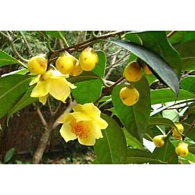 2 Cây Giống Trà Hoa Vàng