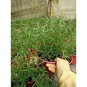 Cây hương thảo - Rosemary có tác dụng đuổi muỗi, làm dịu tinh thần- chậu to, nhiều cây, rễ khoẻ