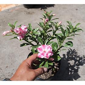Cây sứ Thái gốc to đang có hoa và nụ ST8