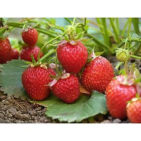 Hạt giống Dâu tây đỏ chịu nhiệt cực dễ trồng (100 hạt) + tặng gói kích mầm giá tốt