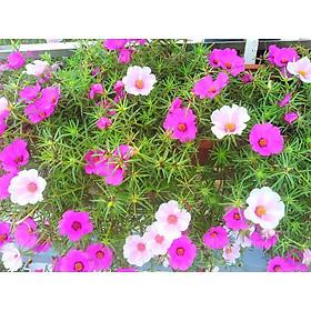 Hạt giống hoa mười giờ cánh đơn hoa nhiều màu xuất xứ Việt Nam (01 gói 100 hạt)