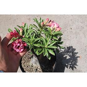 Cây sứ Thái gốc to đang có hoa và nụ ST16