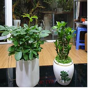 Combo hai cây Ngũ Gia Bì, Phát Lộc