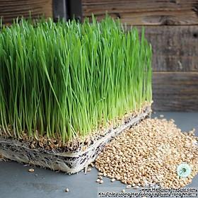1Kg Hạt Giống Cỏ Lúa Mì Đỏ Cỏ Mèo Wheatgrass (A2.205| W20*V34)
